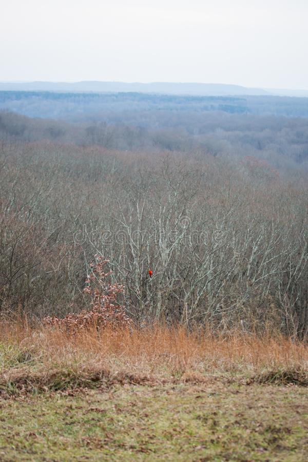 Bird cardinal rouge en parc d'état naturel en hiver photo libre de droits