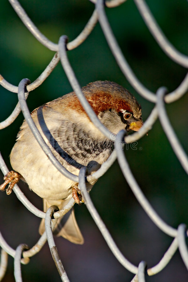 Download Bird in a cell stock image. Image of hungry, fence, darling - 336787