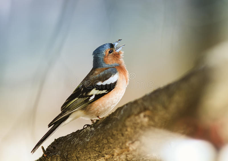 Beautiful Download Bird Chaffinch Sings A Sonorous Song Tree Spring In The Woods  Stock Photo
