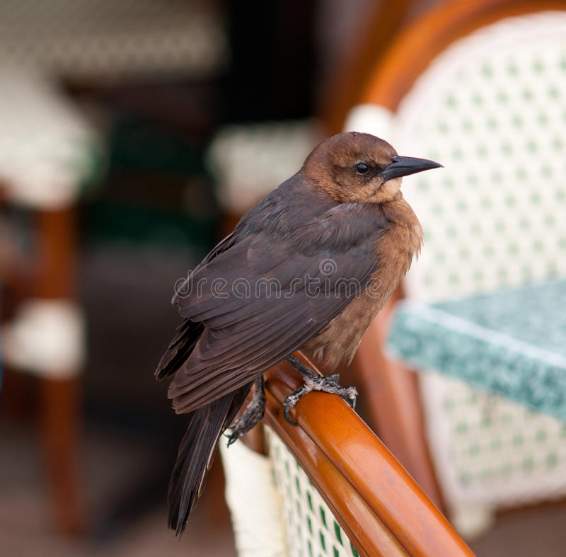 Bird on chair. Bird (common grackle) sitting on a wooden chair royalty free stock photos