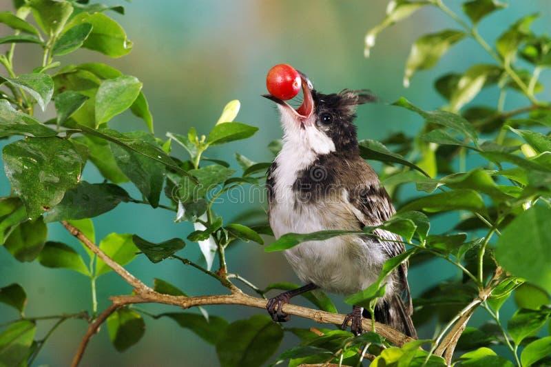 Download Bird cherry stock photo. Image of tree, fruit, cherry - 14948898