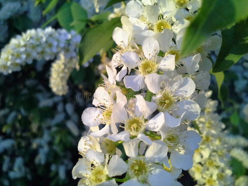 Bird cherry blossoms brush white flowers spring stock photo