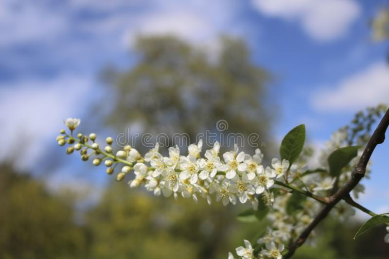 Bird cherry blossoms. royalty free stock photography