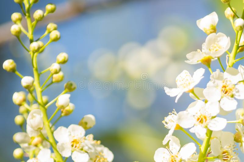 Bird Cherry Blossoms Prunus padus White Blooms With Soft Background. Fresh Spring Color royalty free stock images