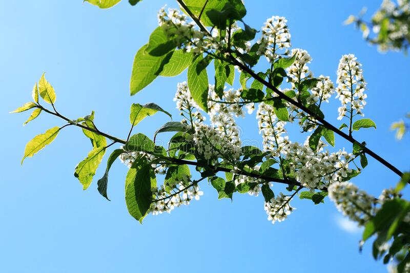 Bird Cherry Blossoms In Spring royalty free stock photos