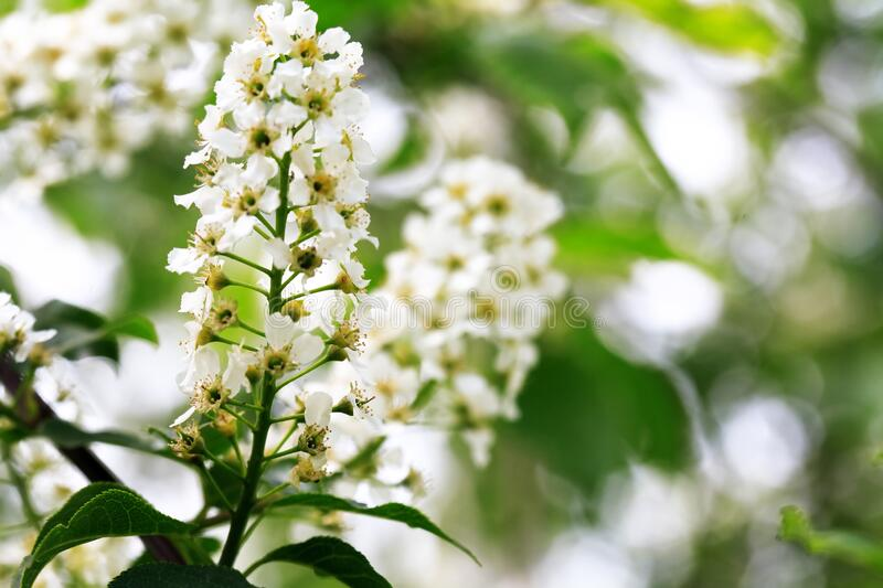 Bird Cherry Blossoms In Spring stock photo