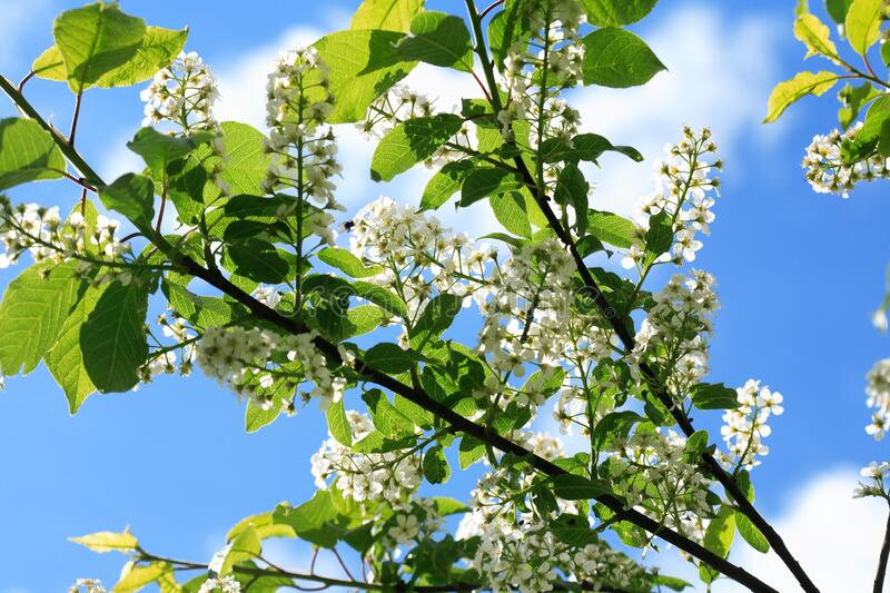 Bird Cherry Blossoms In Spring royalty free stock image