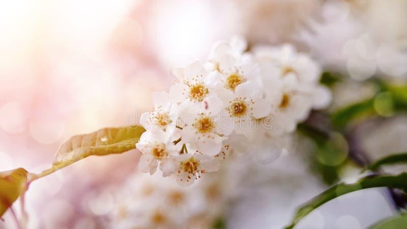 Bird cherry branch with white flowers stock photo
