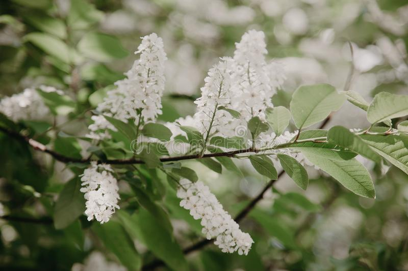 Bird cherry closeup with selective focus and shallow depth of field stock photo