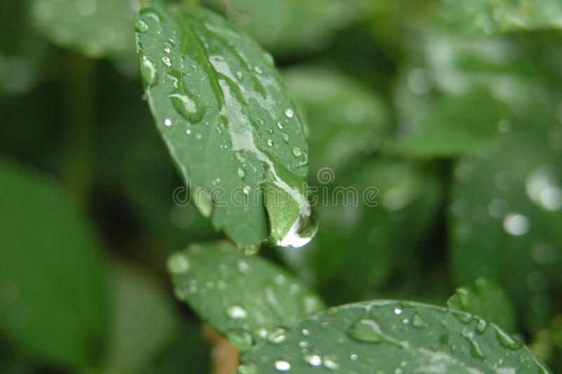 Bird cherry leaves after rain stock images