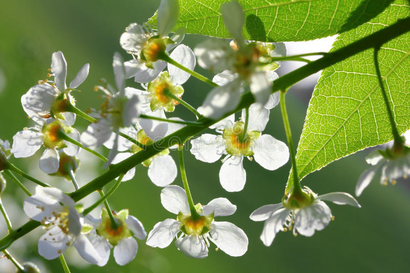 Download Bird Cherry Tree Flowers Macro Stock Photo - Image: 23894224