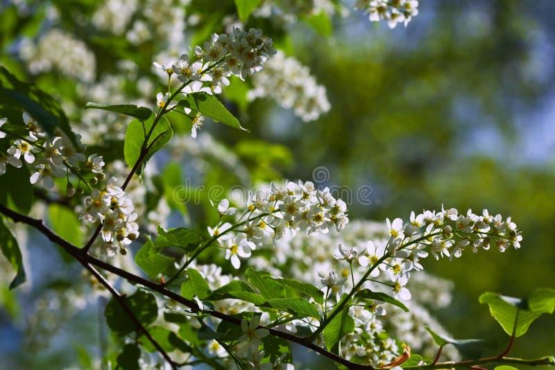 Bird Cherry tree in full bloom royalty free stock photography