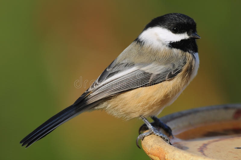 Bird Chickadee Perched At A Water Dish Stock Images
