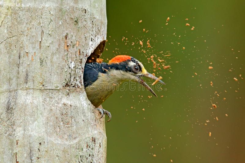 Bird cleaning nest hole. Woodpecker from Costa Rica, Black-cheeked Woodpecker, Melanerpes pucherani, bird in the nature habitat,. Costa Rica. Animal nesting royalty free stock photo