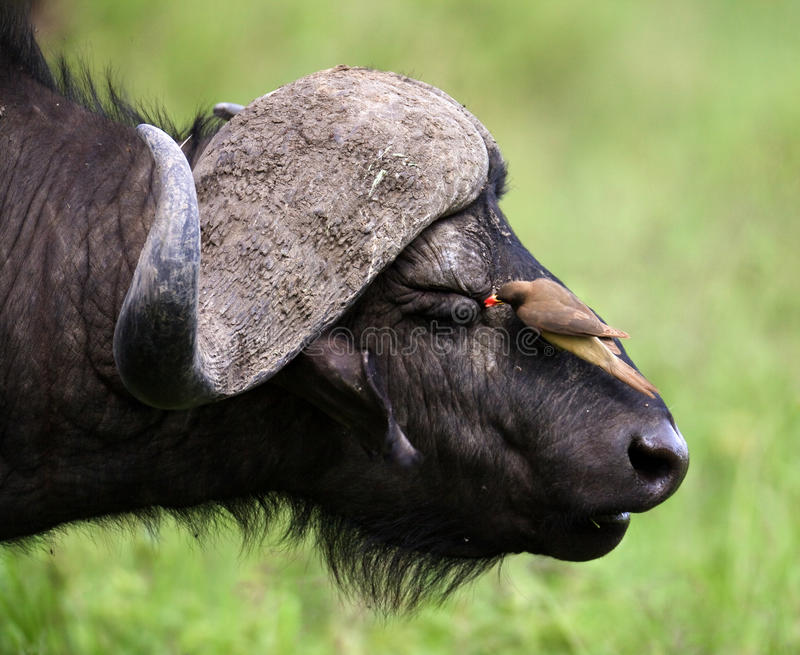 Download Bird cleans buffalo eyes stock image. Image of oxpecker - 14690049