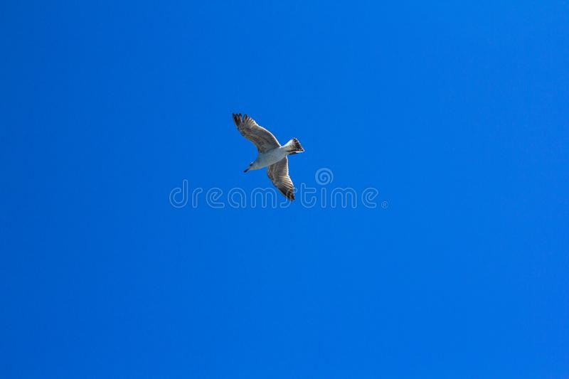 A bird on a clear blue sky. Minimalism. Beautiful seagull soaring in the blue sky. A bird on a clear blue sky and the trail of a flying airplane. Minimalism royalty free stock image