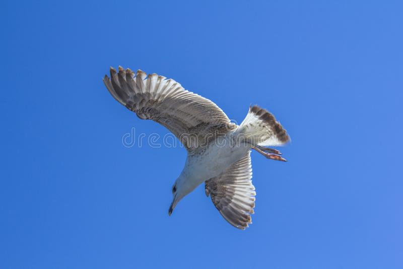 A bird on a clear blue sky. Minimalism. Beautiful seagull soaring in the blue sky. A bird on a clear blue sky and the trail of a flying airplane. Minimalism stock photos