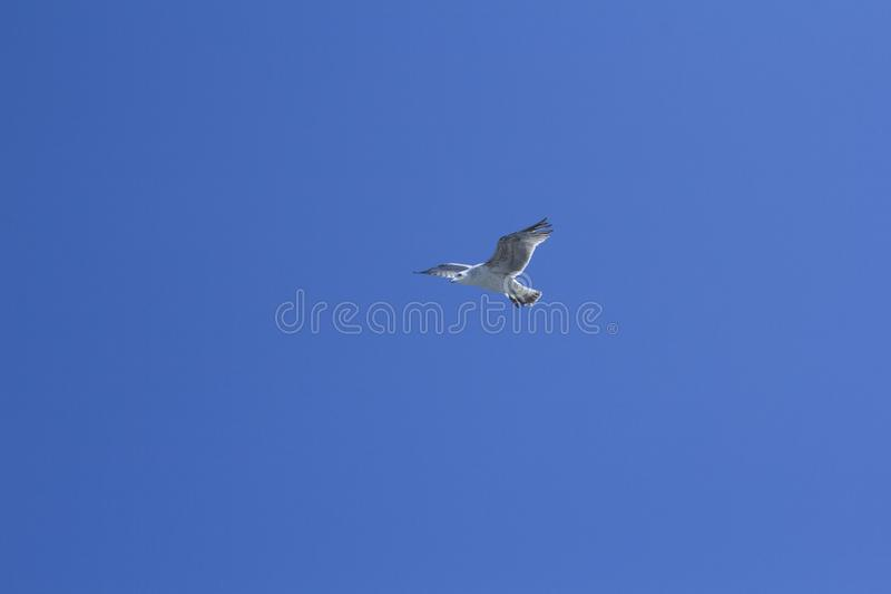A bird on a clear blue sky. Minimalism. Beautiful seagull soaring in the blue sky. A bird on a clear blue sky and the trail of a flying airplane. Minimalism stock images