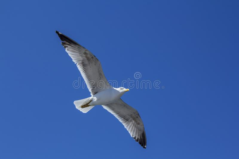 A bird on a clear blue sky. Minimalism. Beautiful seagull soaring in the blue sky. A bird on a clear blue sky and the trail of a flying airplane. Minimalism royalty free stock photo
