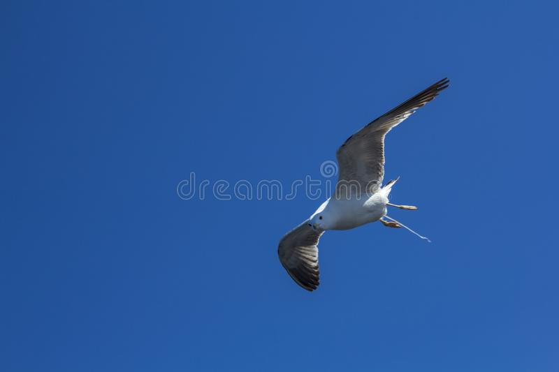 A bird on a clear blue sky. Minimalism. Beautiful seagull soaring in the blue sky. A bird on a clear blue sky and the trail of a flying airplane. Minimalism stock photography