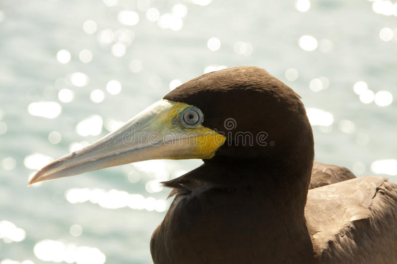 Download Bird close up stock photo. Image of booby, ocean, nature - 12751580