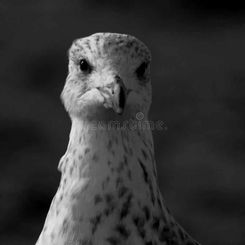 Seagull Black and White. Close-up of a seagull on the beach in black and white stock photo