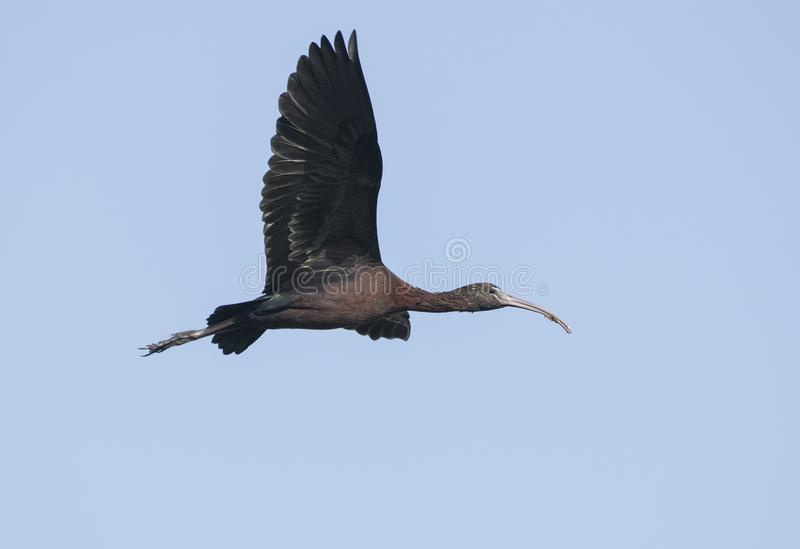 Bird : Close up of Mature Glossy Ibis in Flight. The glossy ibis is a wading bird in the ibis family,with its long, slender, down-curved bill and magnificent royalty free stock photography