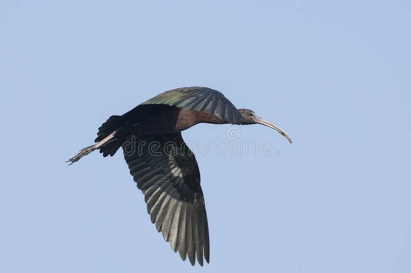 Bird : Close up of Mature Glossy Ibis in Flight. The glossy ibis is a wading bird in the ibis family,with its long, slender, down-curved bill and magnificent stock photography