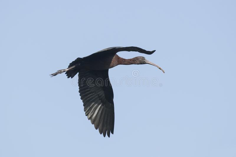 Bird : Close up of Mature Glossy Ibis in Flight. The glossy ibis is a wading bird in the ibis family,with its long, slender, down-curved bill and magnificent stock photo