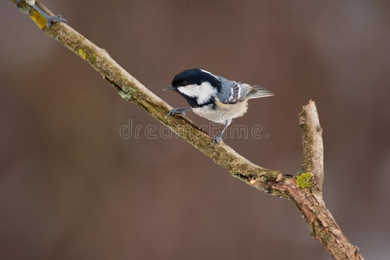 Bird - Coal tit sits on a thick branch in the winter forest on the background of bushes royalty free stock image