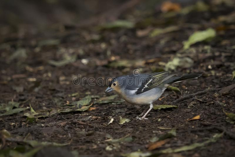Bird, Common Chaffinch Fringilla coelebs  in forest at Garajonay park. La Gomera, Canary Islands. Spain stock photography