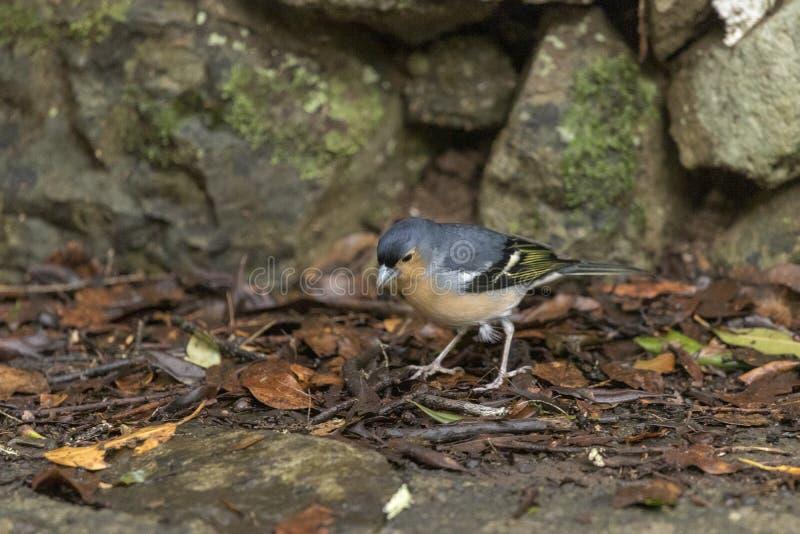 Bird, Common Chaffinch Fringilla coelebs  in forest at Garajonay park. La Gomera, Canary Islands. Spain royalty free stock photo