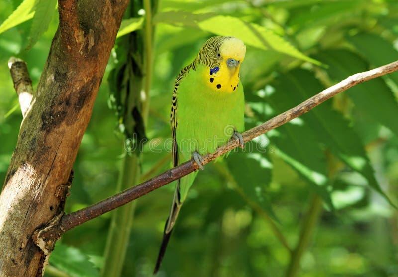 Bird, Common Pet Parakeet, Parakeet, Parrot stock image