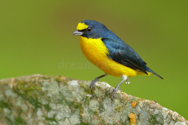 bird from costa rica forest yellow throated euphonia euphonia hirundinacea blue and yellow. Black Bedroom Furniture Sets. Home Design Ideas