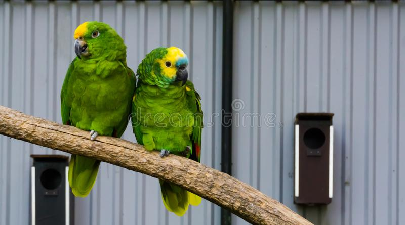 Bird couple, two green amazon parrots close together on a branch, one yellow crowned and one blue fronted amazon, tropical birds stock image