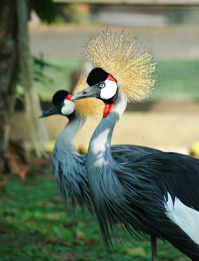 Download Bird with Crown stock image. Image of hair, twins, pair - 89565