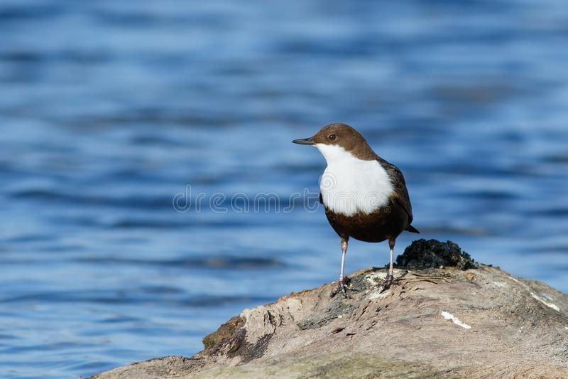 Bird Dipper sitting on the driftwood royalty free stock photo