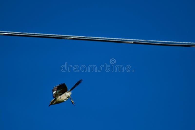Bird diving towards the ground stock image
