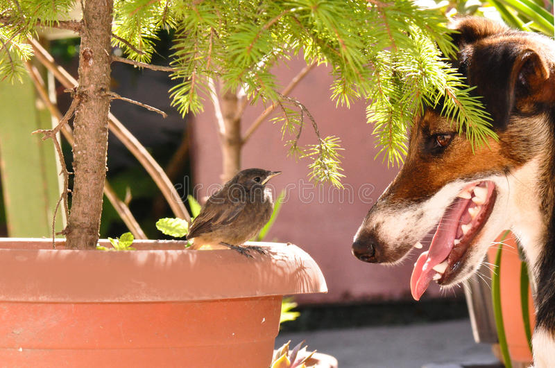 Bird and dog. Little bird and dog. Phoenicurus ochruros from Muscicapidae family and Smooth Fox Terrier royalty free stock photo
