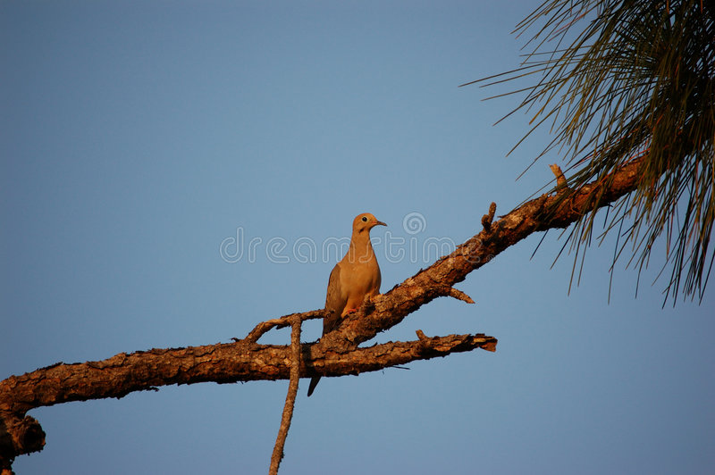 Bird - Dove Out on a limb. A dove rests on a pine bough. metaphor, out on a limb royalty free stock photography