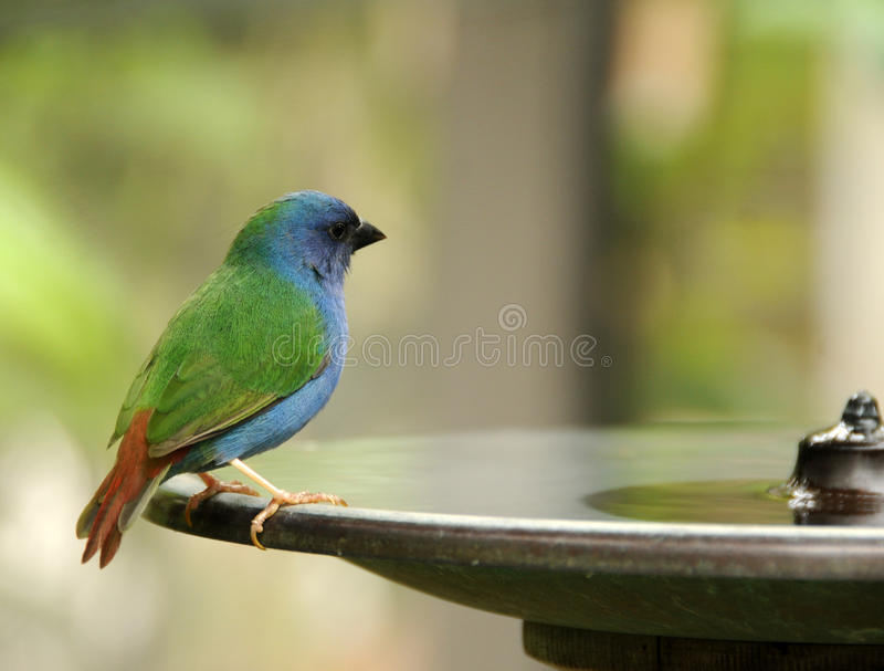 Bird drinking water. Small bird perched on the edge of a waterfountain stock image