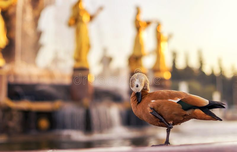Bird duck on the background of water from a fountain and statues made of gold. Duck washes bathes in a city fountain in the Park stock images