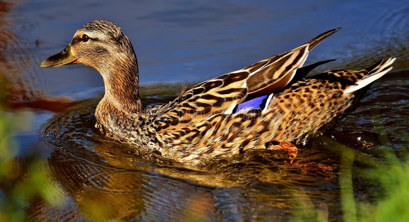 Bird, Duck, Mallard, Water Bird royalty free stock images