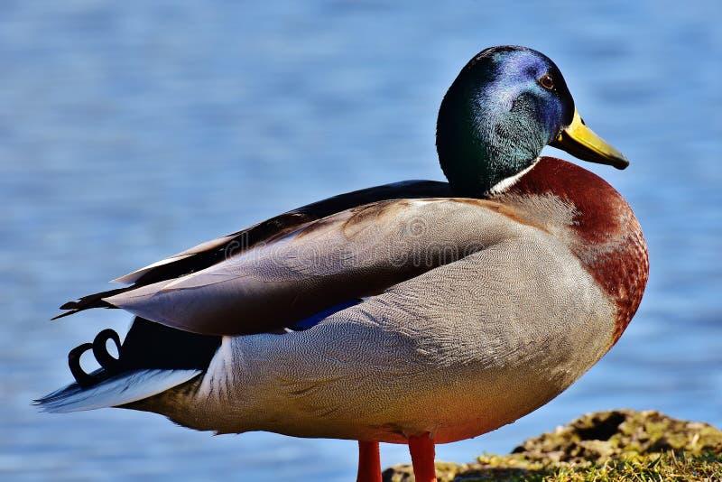 Bird, Duck, Mallard, Water Bird royalty free stock photo