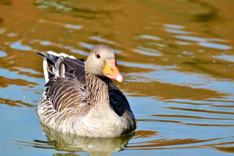 Bird, Duck, Water Bird, Ducks Geese And Swans stock image