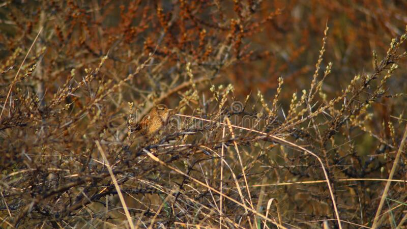 Bird in the dunes. Wren sitting in thickets in the dunes in the Netherlands. Singing in the morning at sunrise royalty free stock photo