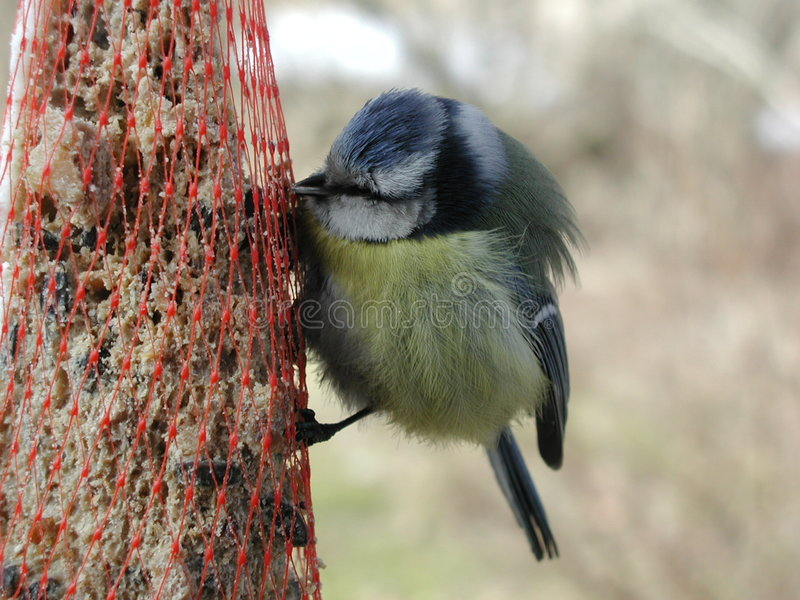 Download Bird eating stock photo. Image of hungry, feeding, yellow - 37676