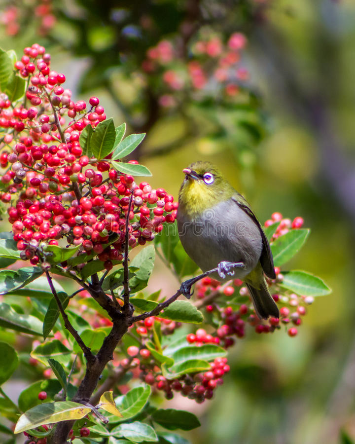 Bird eating a berry. Bird perched high up on a branch collecting food from a berry tree stock image