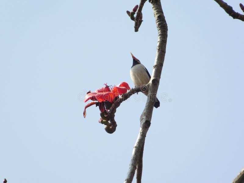 Bird eating cotton tree flowers. These flowers belongs to cotton tree. This tree is famous for its big red flowers which sprouts from March to May in India. It& stock photography