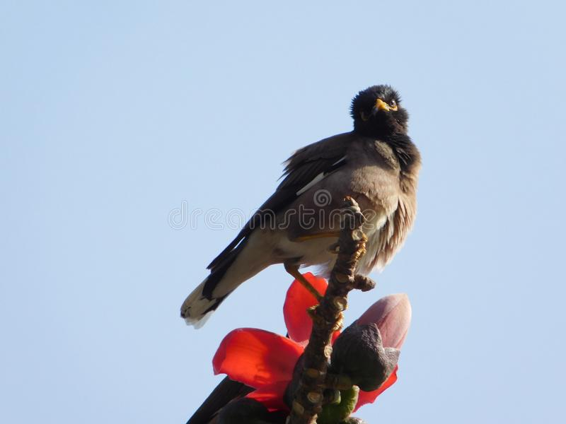 Bird eating cotton tree flowers. These flowers belongs to cotton tree. This tree is famous for its big red flowers which sprouts from March to May in India. It& stock images
